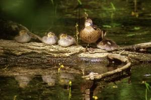 female, blue, winged, teal, brood, anas discors, ducks