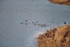 зелено, крилат, патица, Дрейк, езеро