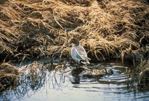 green, winged, teal, drake, waterfowl, bird, anas crecca