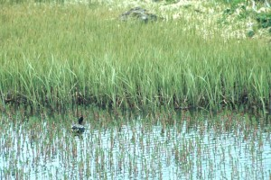 green, winged, teal, swamp, grass, anas crecca