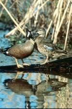 green, wingteal, duck, pair