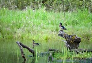pair, male, wood, ducks, grace, waters, sposa