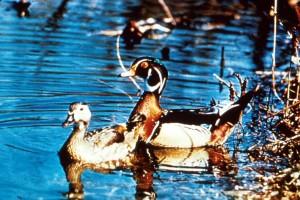 pair, wood, ducks, surface, lake