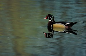 up-close, wood, duck, bird, sposa, swimming, quiet, water