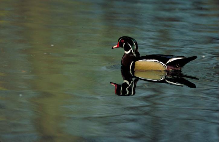 de près, bois, canard, oiseau, sposa, piscine, calme, eau