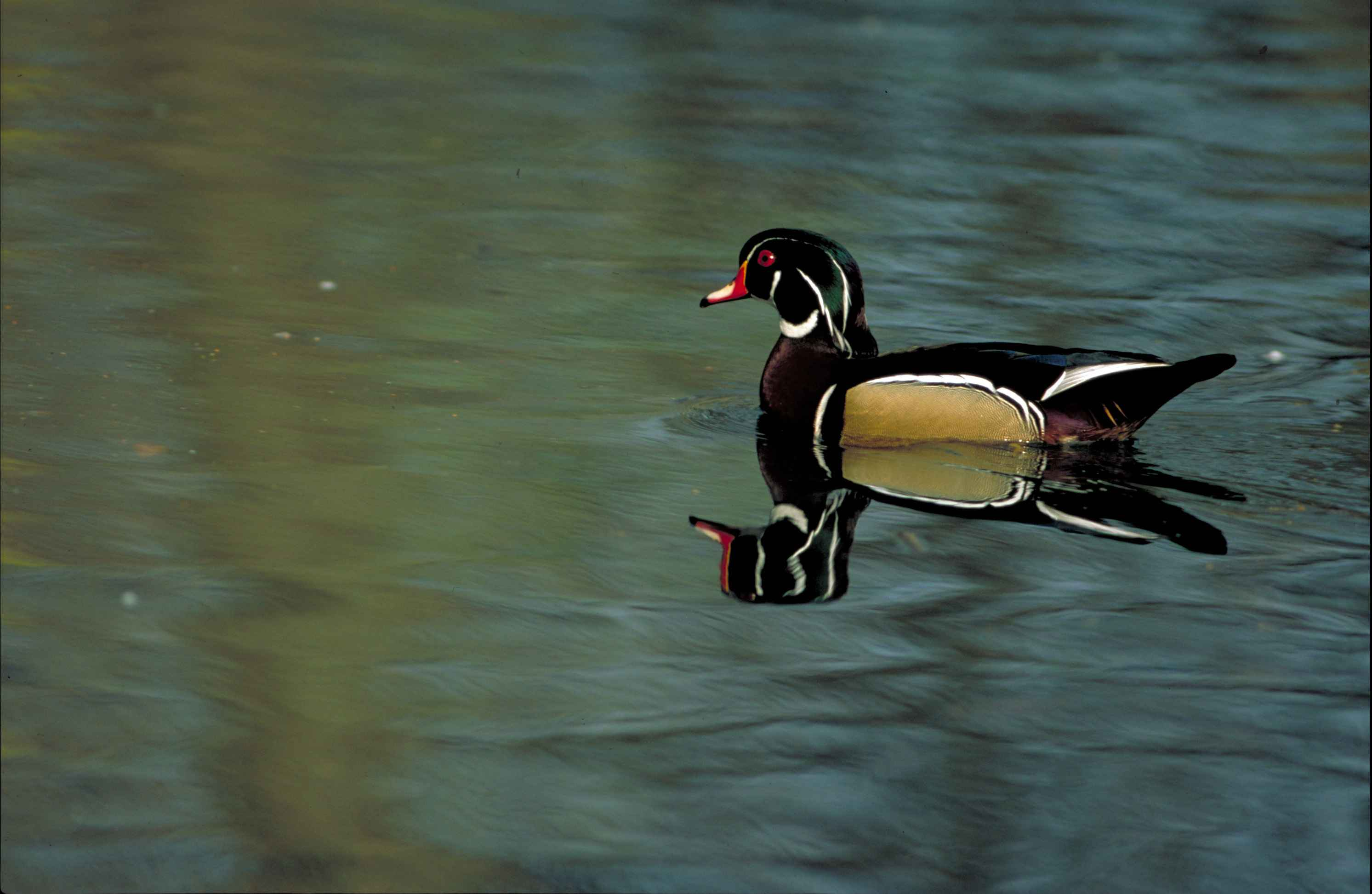 free picture up close wood duck bird sposa swimming quiet