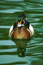 up-close, high, details, photograph, male, wood, duck, waterfowl, bird, water, sponsa