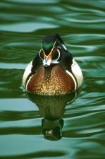 zblízka, vysoká, detaily, fotografie, muž, dřevo, kachna, vodní ptáci, pták, voda, sponsa