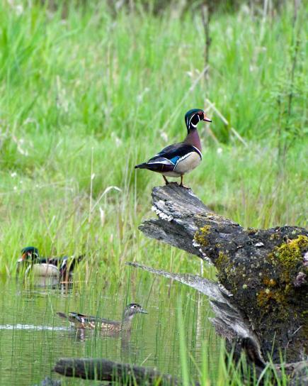 male, wood, drake, bird, log