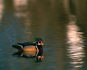 male, wood, duck, sposa, water