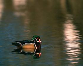 male, wood, duck, sposa, water