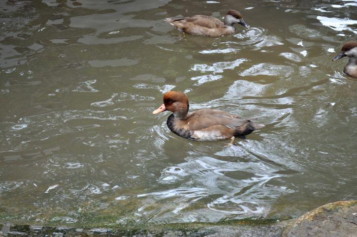 male, wood, duck, pool