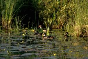 migratory, wood, drakes, swamp
