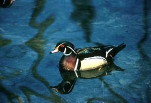 wood, duck, male, water