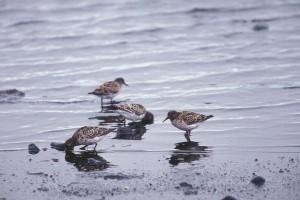 dunlins, birds, shoreline