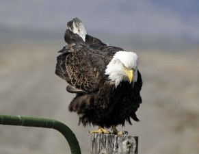 bald, eagle, prepares, flight, fence, post