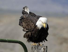 bald, eagle, prepares, flight, fence, post