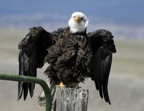 chauve, aigle, repose, barrière, poste, étirement, ailes
