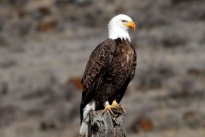 banded, adult, bald, eagle