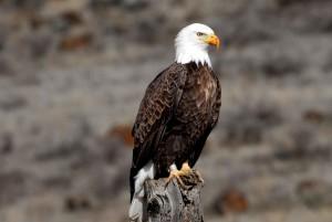 banded, adult, bald, eagle