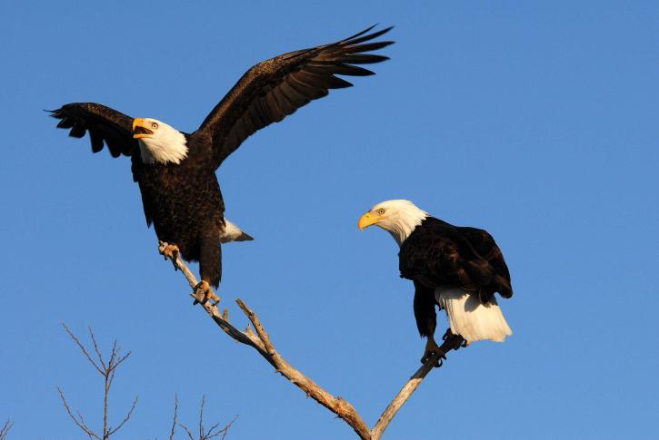 pair, bald, eagles, branch