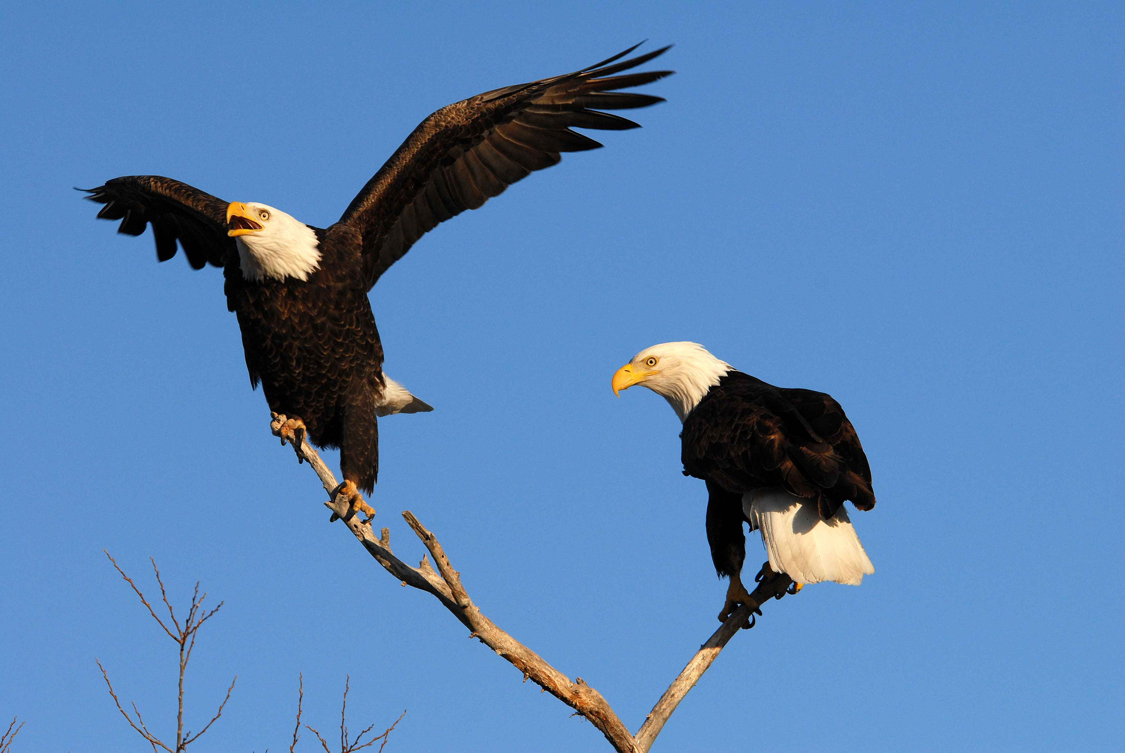 Eagles May Be Able to Fight Drones, but They\'re Also Selfish and ...