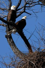 adult, bald, eagles, nest