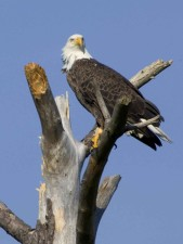 American, bald, eagle, tree, blackwater, wilderness, refuge