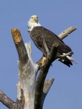 Américain, chauve, aigle, arbre, blackwater, désert, refuge