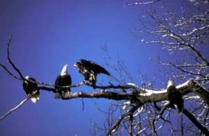 秃头, 老鹰, 成年, 新生, 树