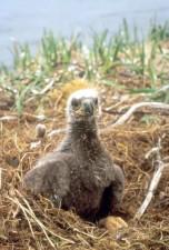 秃头, 老鹰, 成年, 小, 小鸡, 刚起步