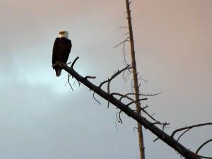 bald, eagle, bird