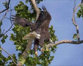 chauve, aigle, oiseau, voler, forêt