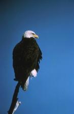 bald, eagle, bird, back