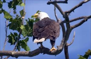 chauve, aigle, oiseau, dos, arbre, haut
