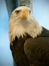 bald, eagle, bird, haliaeetus, leucocephalus