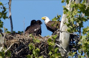 bald, eagle, bird, nest, tree, top, chick