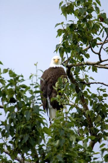 bald, eagle, bird, looking, tree