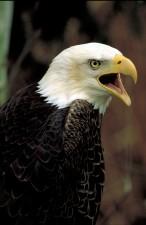 skaldet, eagle, fugl, ser man, skulder, ringer