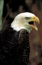 bald, eagle, bird, looking, shoulder, calling