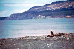 chauve, aigle, oiseau, plage