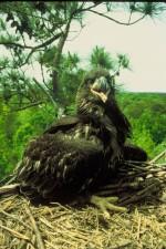 chauve, aigle, poussin, le visage, à proximité
