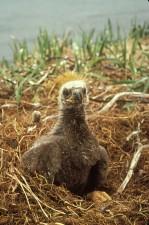 bald, eagle, chick, nest