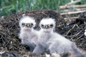 chauve, aigle, poussins, oiseaux, rapaces, haliaeetus, leucocephalus