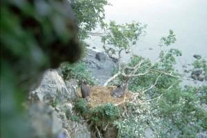 chauve, aigle, falaise, nid, oisillons