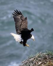 calvo, águila, dibuja, alas, de nuevo, viene, nido, aterrizaje