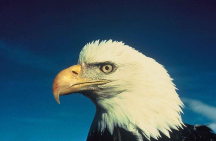 chauve, aigle, visage, oiseau
