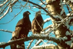 bald, eagle, fledglings, birds