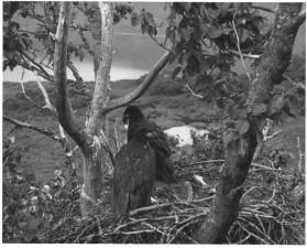 лысый орел, молодняк, гнездо, птицы