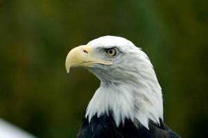 plešatý, eagle, hlavu, haliaeetus leucocephalus